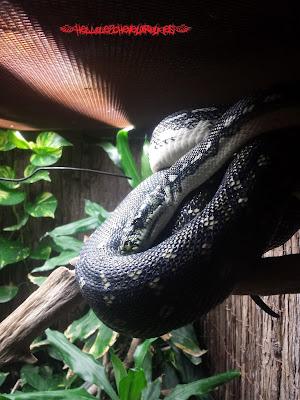 Serpent noir et blanc enroulé à une branche à Touroparc