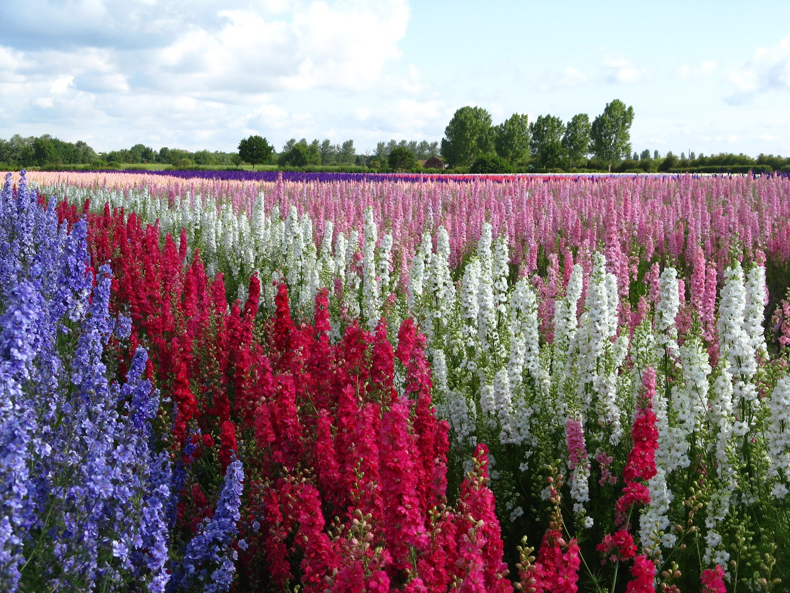 The Confetti Blog Delphinium Flower Fields 2012 and The