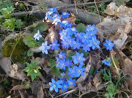 Den norske nasjonal-blomsten