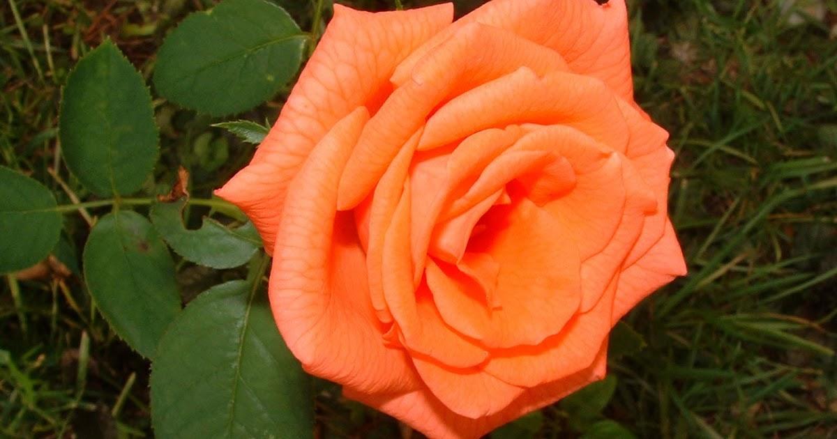 Garden Cafe 39 When To Fertilize Roses