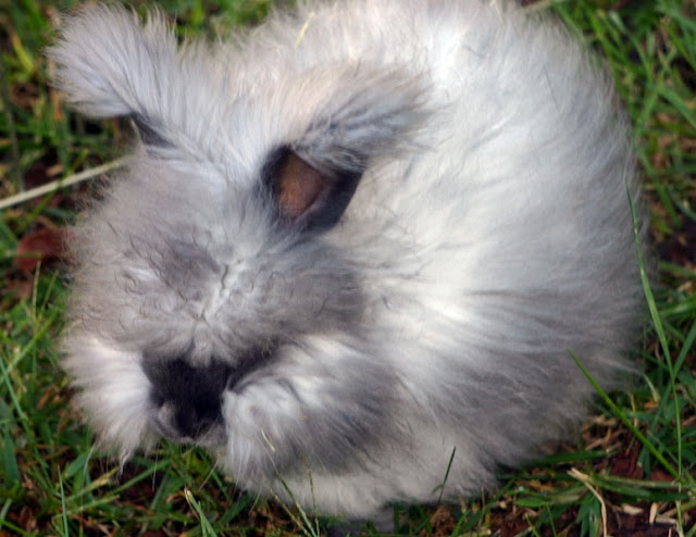 sejarah kelinci anggora inggris