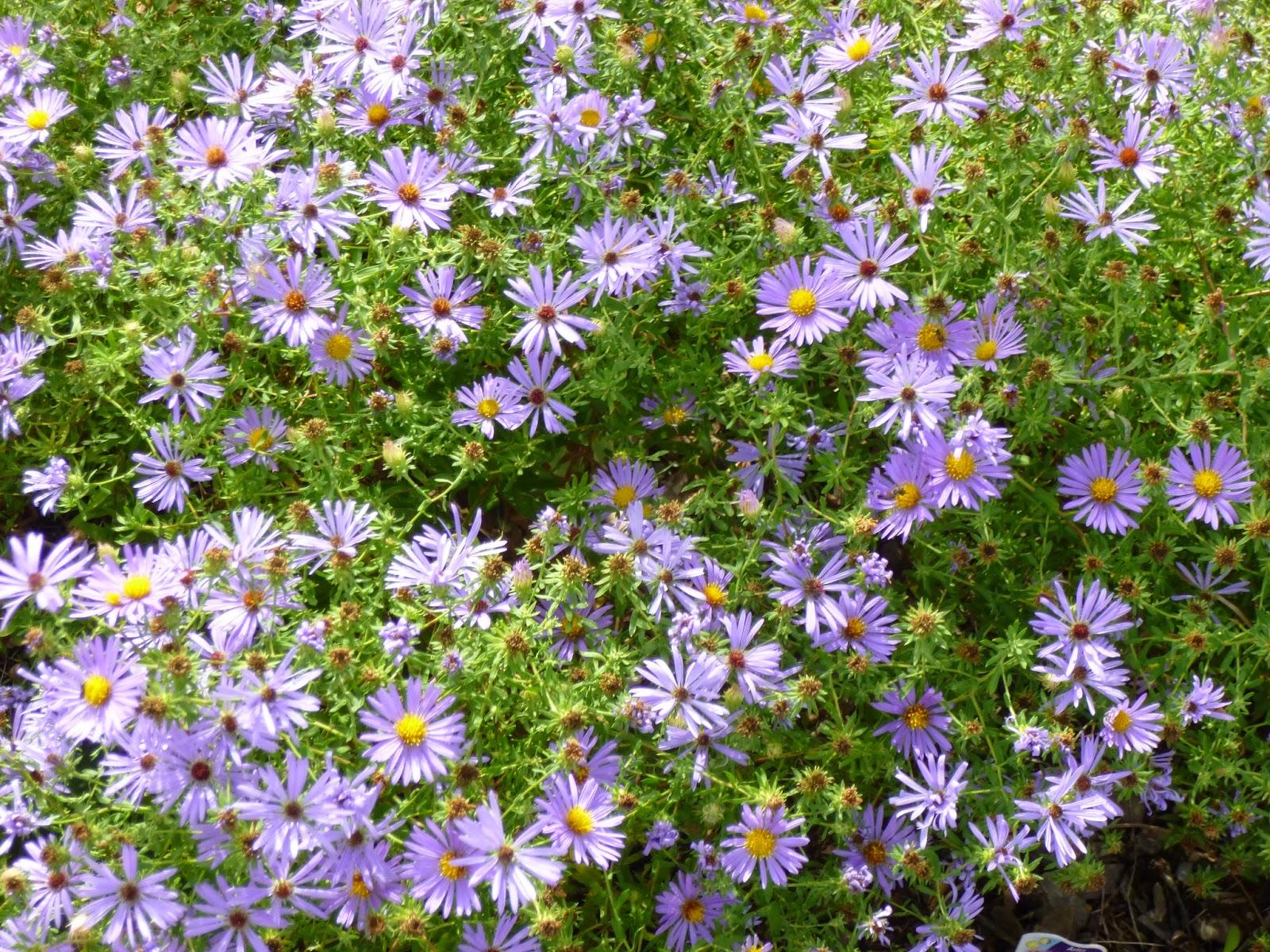 Garden Of Aaron Energizer Flowers In The October Garden