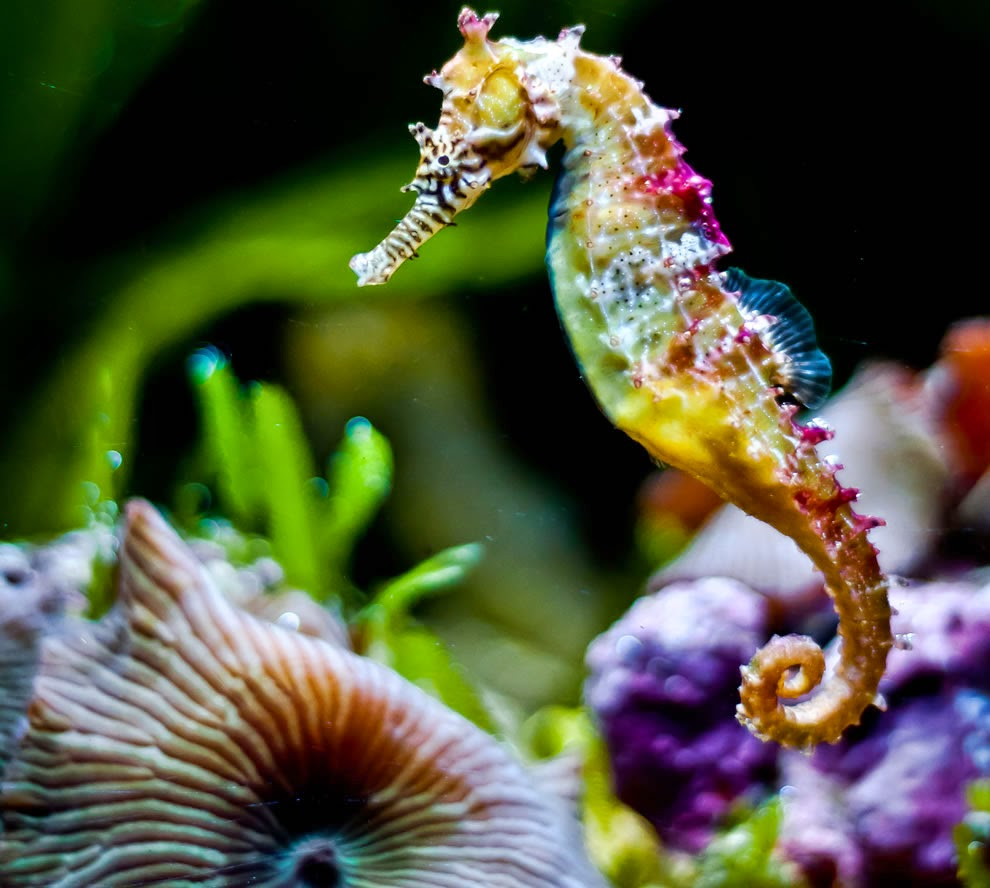 rainbow seahorse photos realistic sea horse coloring pages