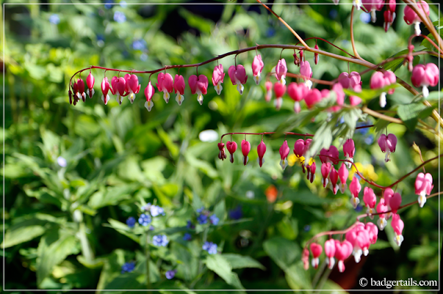 Pink Dicentra Spectabilis (Bleeding Hearts) Flowers with Blue Forget Me Nots