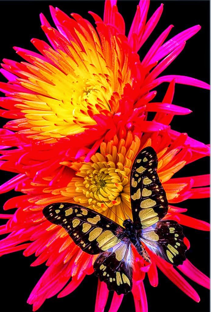 mariposas-y-flores-amarillas-imagenes