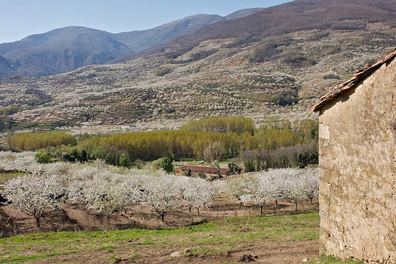 Cherry blossoms in the Jerte Valley, Spain