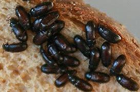 8 Khasiat Semut Jepang Dan Cara Mengkonsumsinya