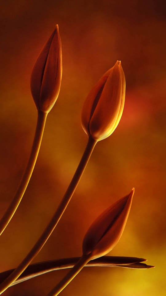 Closed Tulip Buds   Galaxy Note HD Wallpaper