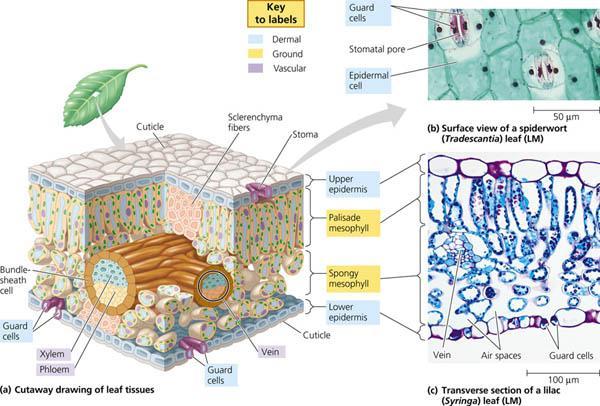 Rozaini othman guru cemerlang biologi photosynthesis spm level photosynthesis spm level ccuart Image collections