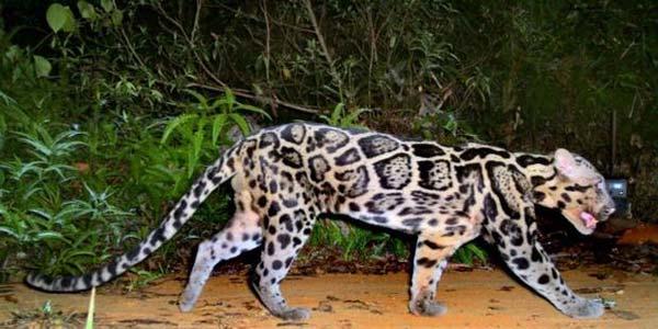 Pertama Kalinya, Macan Tutul Sunda Tertangkap Kamera