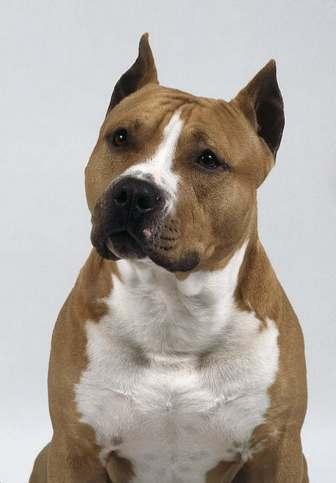 American Staffordshire Terrier: American-Staff