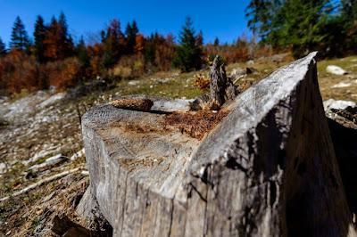 erdőirtás, Greenpeace, Románia, illegális fakitermelés,