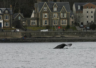 whale watching Oban