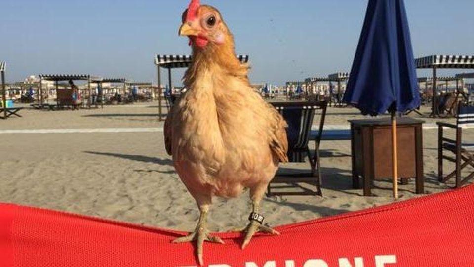 Una gallina per amica, aumentano le famiglie che la scelgono come animale domestico