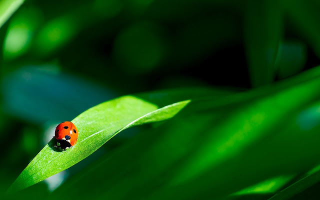 Beautiful photo of a red ladybug walking on a green leaf with a green background