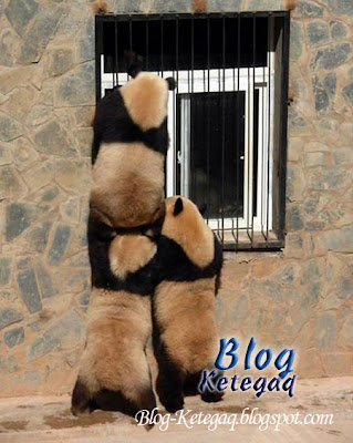 Telatah comel panda bekerjasama