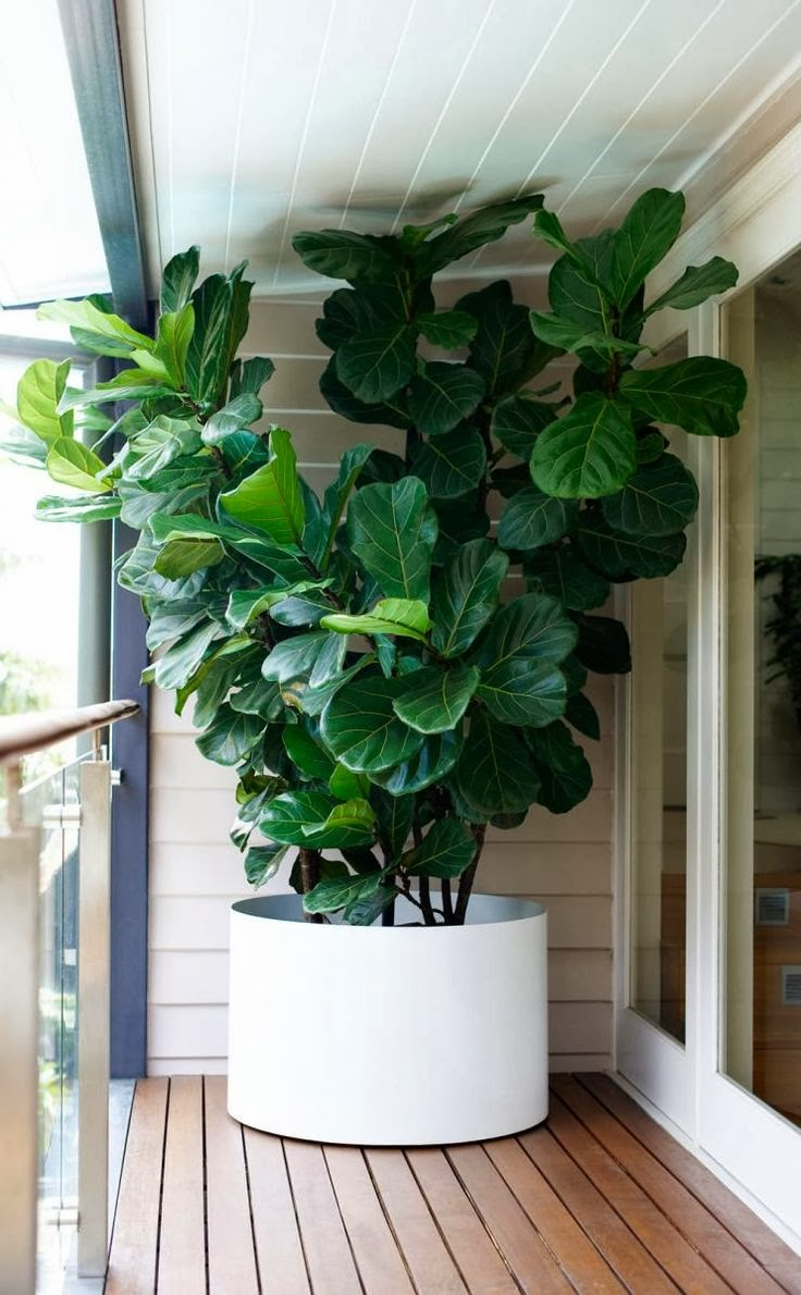 Fun and vjs fiddle leaf fig tree club Large house plants