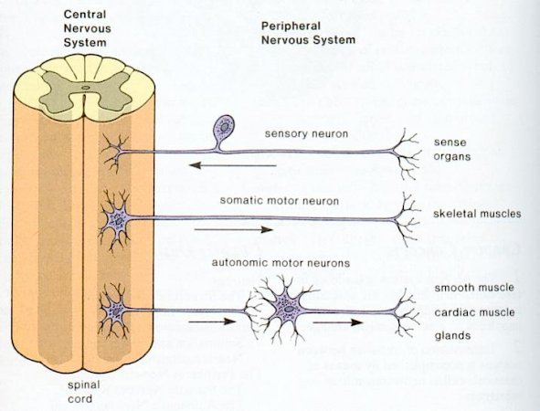 Niks igcse biology 283 recall that the central nervous system the sensory organs receptors send nerve impulses through the cns to the effector organs effectors by means of nerves a nerve consists of neurones ccuart Gallery