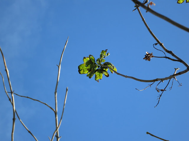 The last leaf (still green) at the top of an autumn tree with a blue, blue sky
