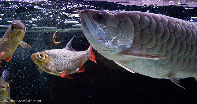 Arowana Care Tips on What to Feed Arowanas