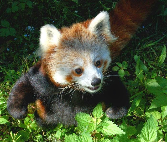 40 Adorable red panda pictures (40 pics), red panda playing