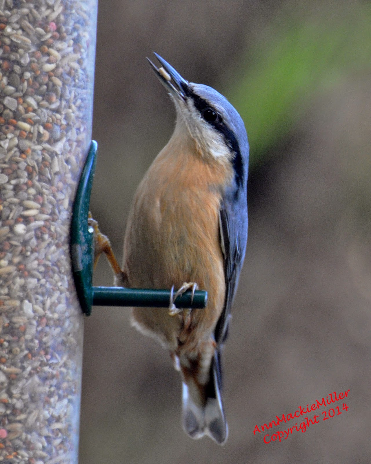 nuthatch perched on garden feeder with seed in beak