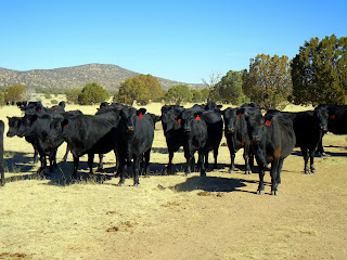 Black Angus cows in west Texas
