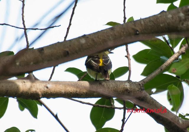 Yellow Rumped Flycatcher (Ficedula zanthopygia)