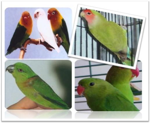 ada beberapa cara untuk membedakan lovebird jantan dan lovebird betina