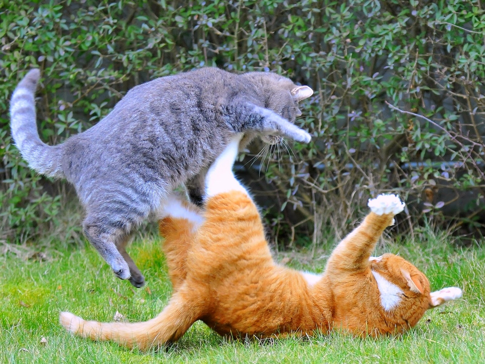 Gray tabby cat and orange tabby cat fighting | Exclusively Cats Veterinary Hospital Waterford, MI