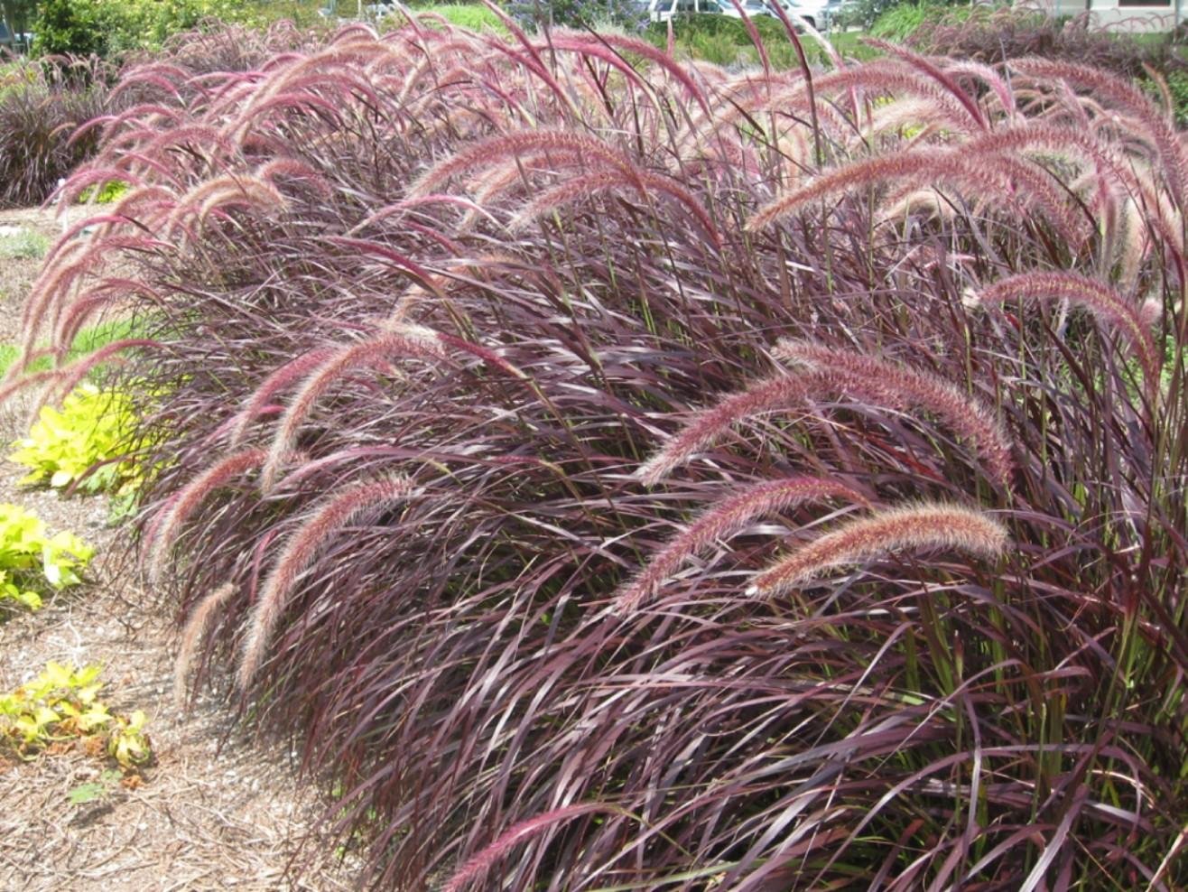 Lois Miller's Greenspeak: Fountain Grass- the good, the ...