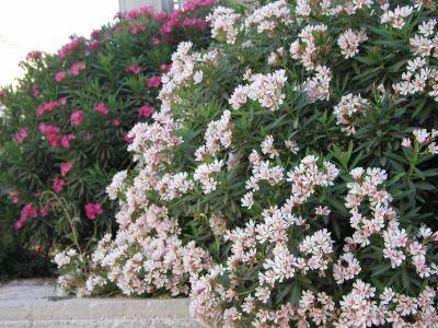 Arte y jardiner a arbustos grandes de inter s en primavera - Arbustos perennes para jardin ...