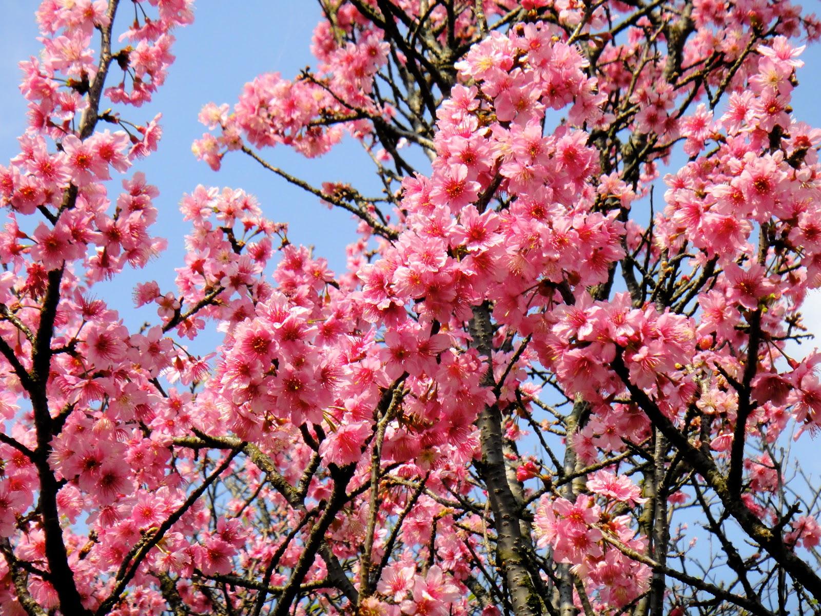 Yangmingshan Sakura Taiwan Spring
