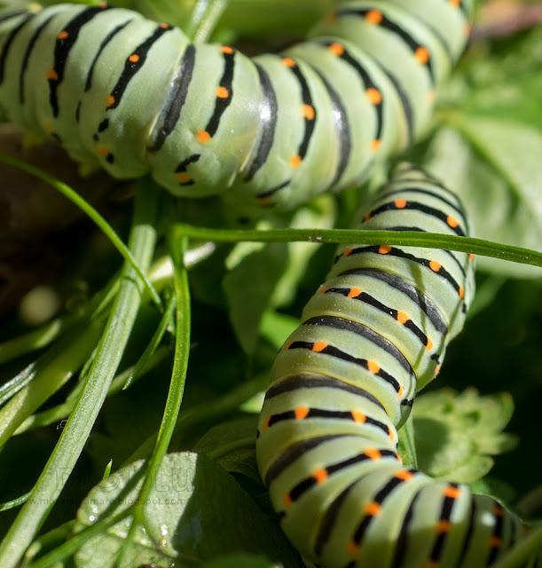 bruco Macaone (Papilio machaon)