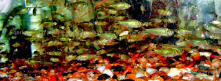 school of Buenos Aires Tetra fish picture