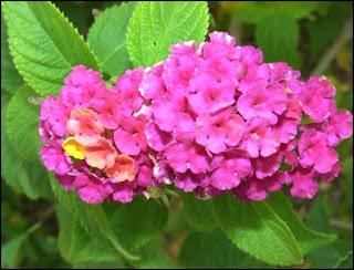 Contoh Tanaman Hias Bunga Lantana Pink