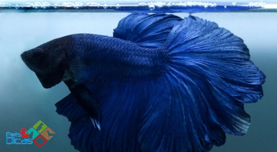 Peixe Beta em aquário
