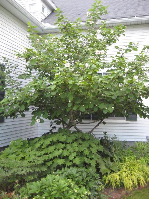 unterpflanzung sommer magnolie mein sch ner garten forum. Black Bedroom Furniture Sets. Home Design Ideas