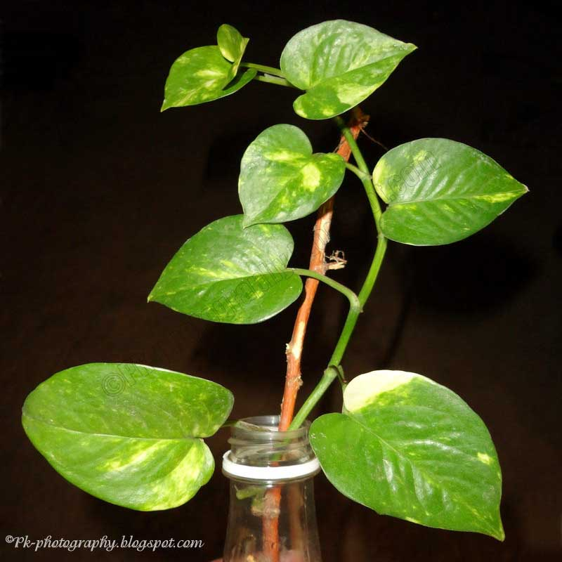 Money Plant Pictures Nature Cultural And Travel
