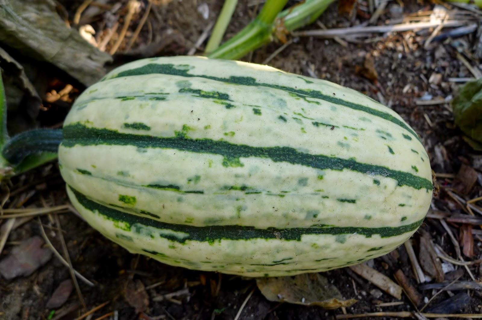 Delicata Squash, urban farming, gardening