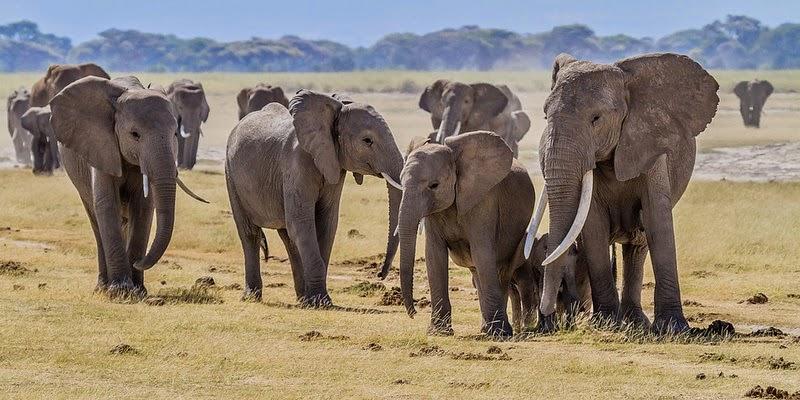 Elefantes en Amboseli, Kenia