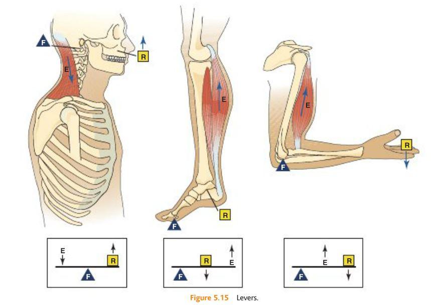 Artistic Anatomy: Biomechanics of Human Anatomy- Three Classes of Levers