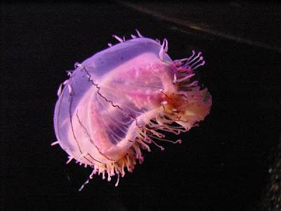 Loài sứa đẹp nhất