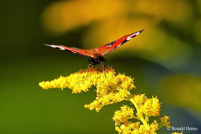 Tierfotos - Insekten - Schmetterlinge - Tagpfauenauge