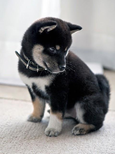 See more Shiba Inu puppy. http://cutepuppyanddog.blogspot.com/