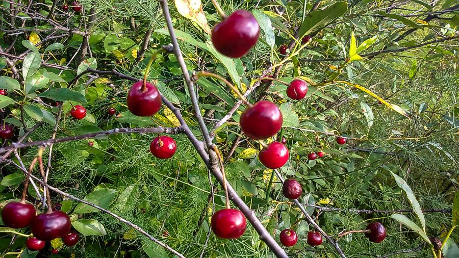 Поспели вишни в саду у дяди  Вани...
