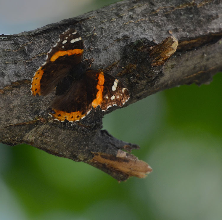 Dorsal view of Red Admiral (Vanessa atalanta) butterfly; beautiful orange-red stripes and white bars on a dark brown background