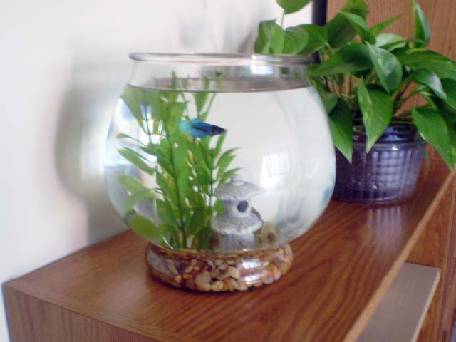 Green jean betta fish for Beta fish bowl
