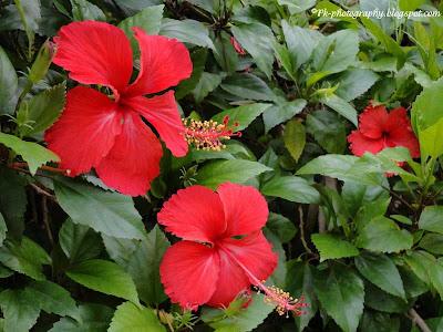 Hibiscus Flower