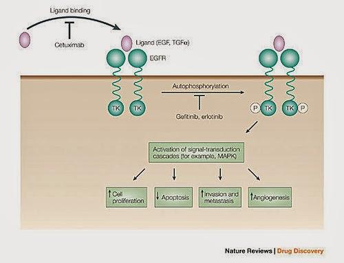 Gefitinib Mechanism Of Action | - 30.0KB